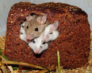 לוכד עכברים בפתח תקוה